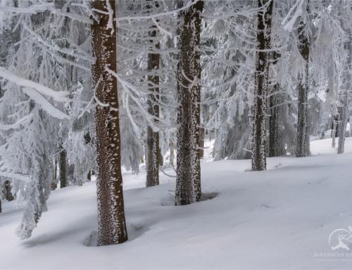 Март в Карпатском лесу